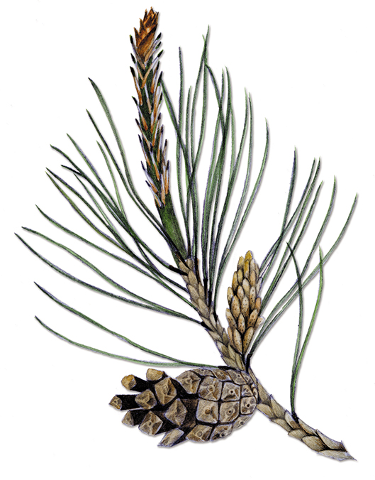 Scots-Pine.jpg