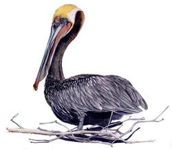 Brown-pelican.jpg