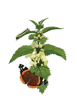 Red Admiral & White Nettle
