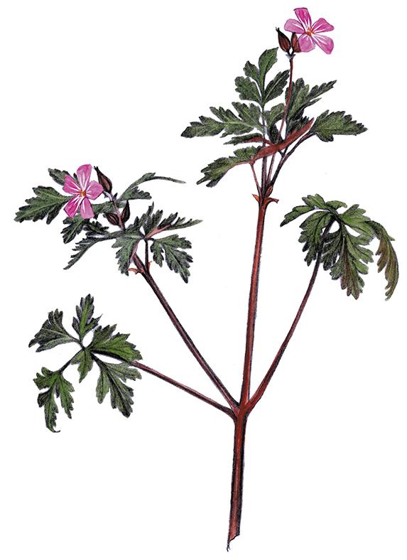 Herb-robert.jpg