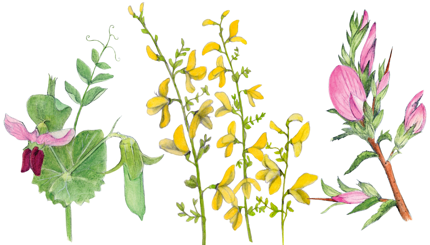 pea-plants.jpg