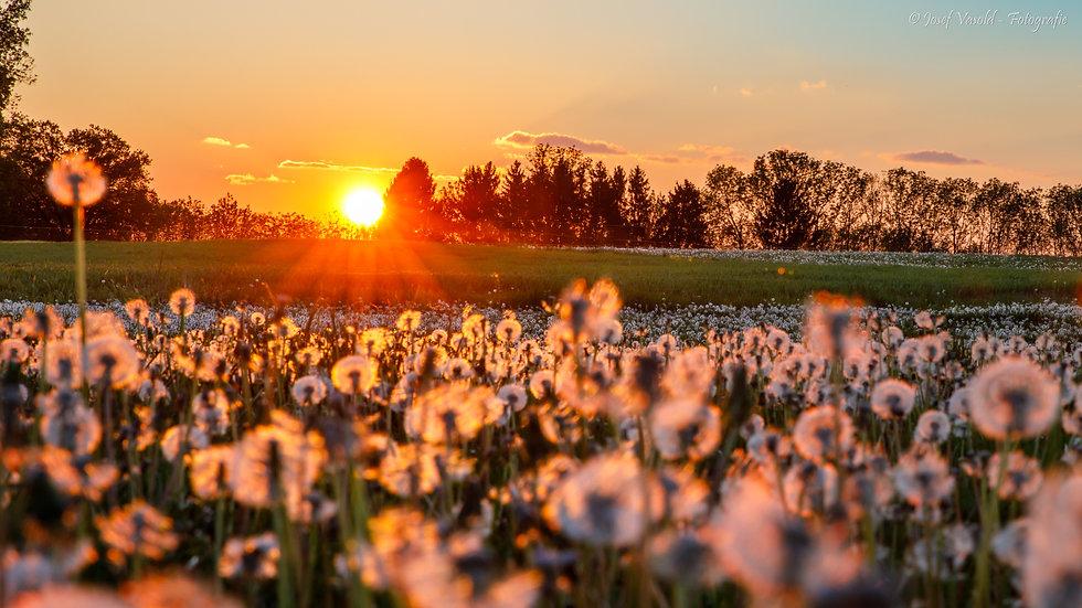 Sonnenuntergang_Pusteblume_1.jpg