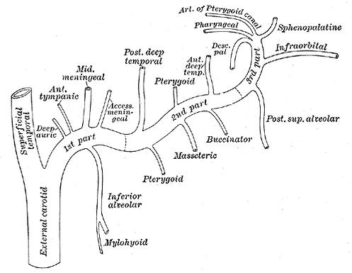 Arteria maximalis.png