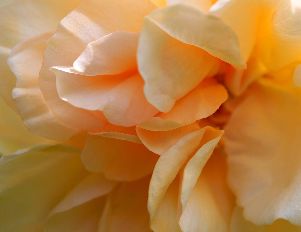 Inner Rose