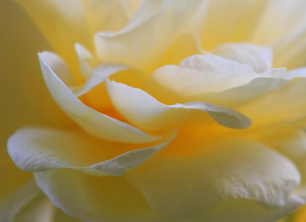 Rhapsody in Rose