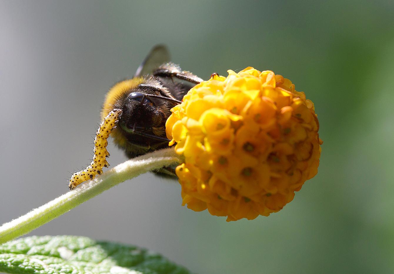 Mullein Moth Caterpillar and a Bee