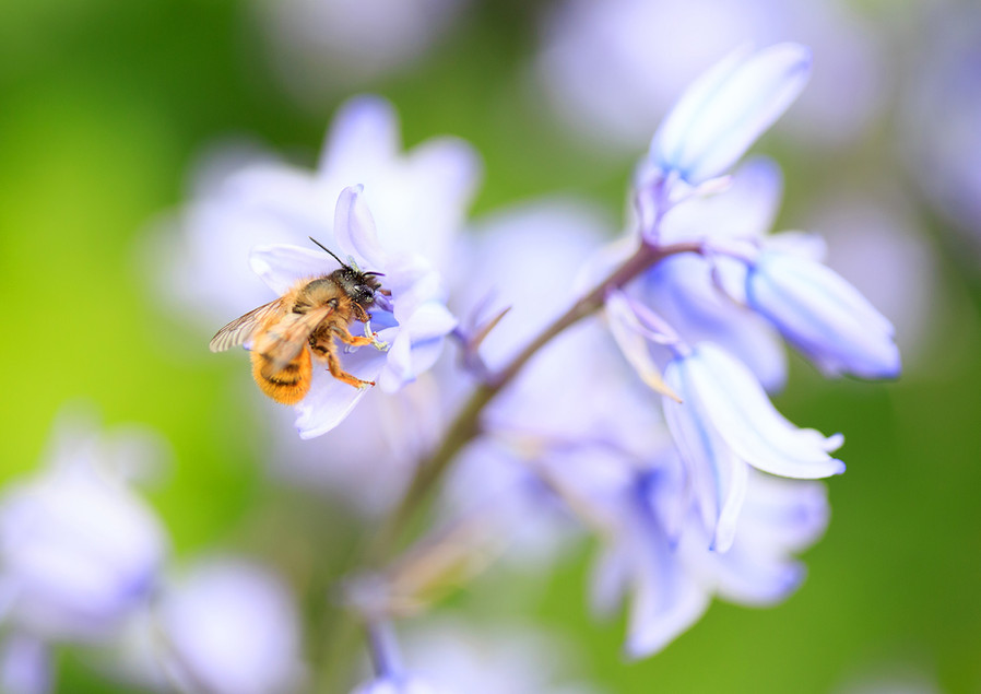Bee and a Bluebell