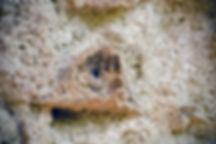 clypeaster-erizo del mioceno2.jpg