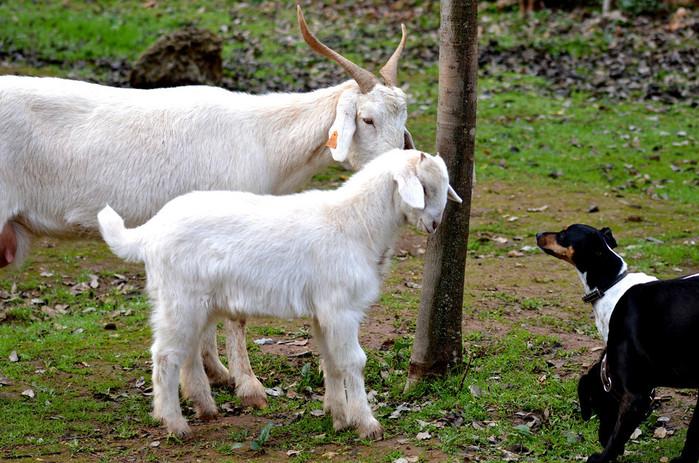 conversacion entre cabras y perros.jpg