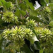 happy-tree-camptotheca-acuminata_1-500x5