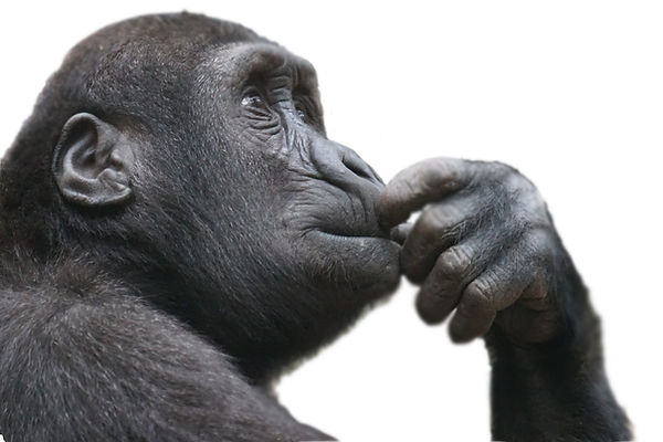 chimpanzé.jpg