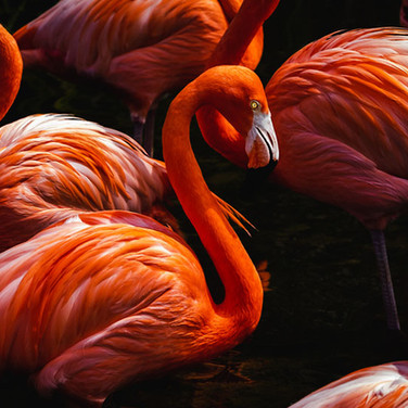 Amadeu Martinez Silvoso, Flamingos.