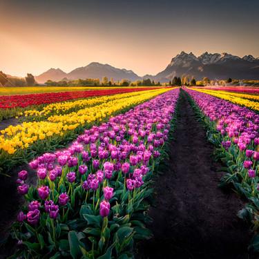 Marcelo Minichelli, Campo de tulipanes.