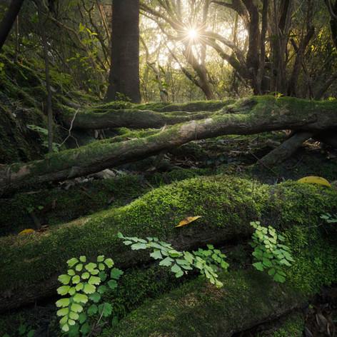 "Julian Olmedo, ""Encanto de bosque"""
