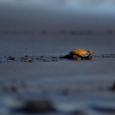 Oscar Burgos Manzano, Lucha por la supervivencia de la tortuga Laud