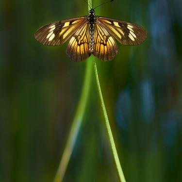 MARCELO CASSINI, mariposas 2.