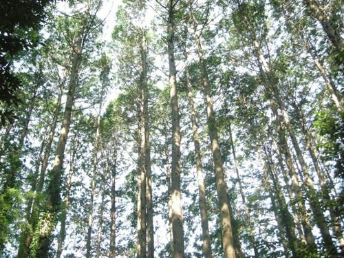 杉の道、人の道