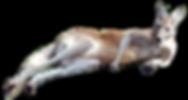 kangaroo_PNG22.png