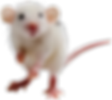 White-Mouse-Transparent-Images.png