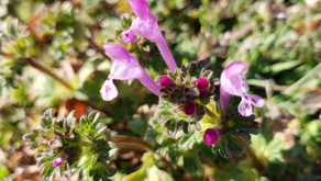 Henbit's Up There With Dandelion Folks!