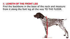 Length of the Front Leg