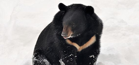 asiatic black bear photo2.jpg
