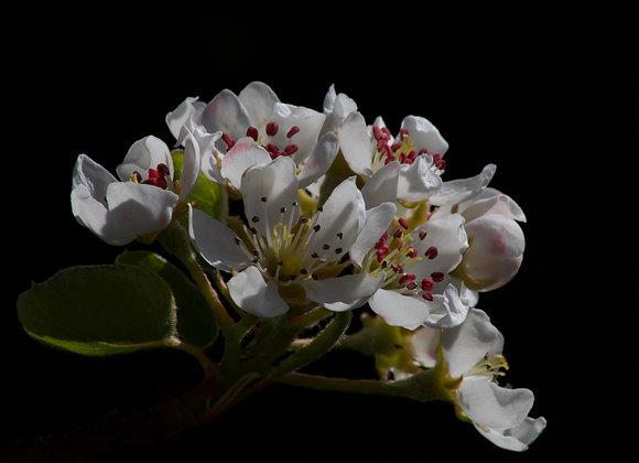 fine art print cherry blossom