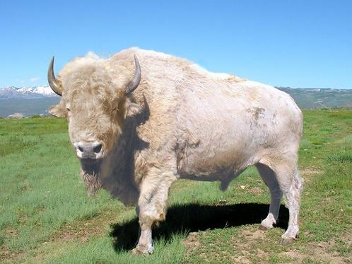 White Buffalo Hunt