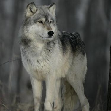 Wolf Pick