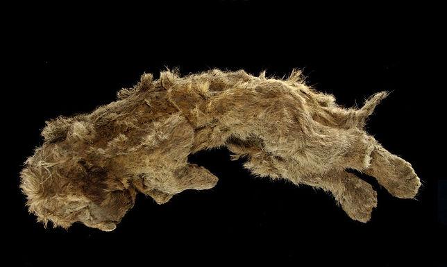 Filhote de leão das cavernas encontrado congelado tem 28 mil anos