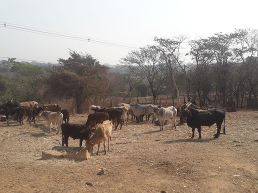 Patrulha Ambiental atende denúncia de maus-tratos em gado no Jardim Alpino