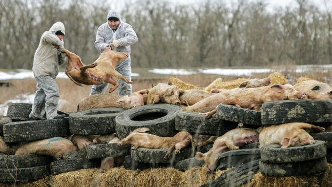 Alemanha detecta mais um caso de peste suína africana