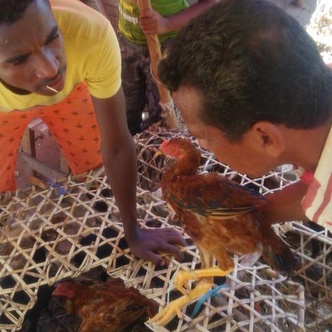 Achat des poules.jpg