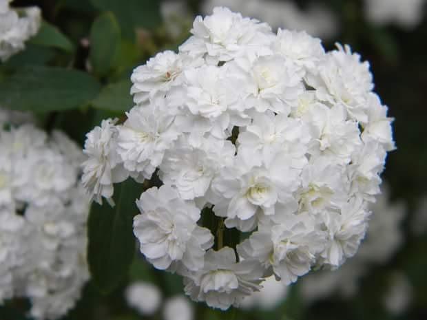 #flowers #white #white flowers #pretty #