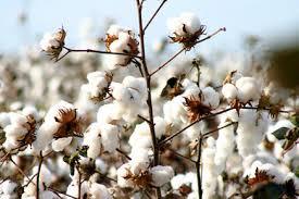 Muito prazer, sou o algodão! (parte 1)
