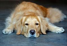 golden-retriever-dogs-puppies-9.jpg