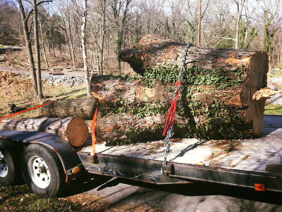 Silver Maple Saved from the Landfill