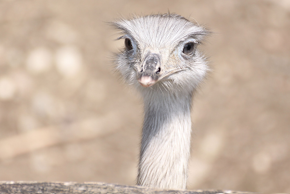 Ostrich head as the bird stares at the camera.