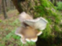 Bukov ostrigar
