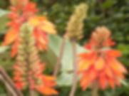 Erythina Bhutan.jpg