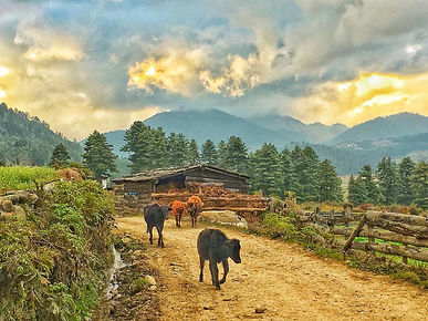 cow-in-Phobjikha-valley.jpg