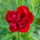 Red.Charm.bloom.jpg