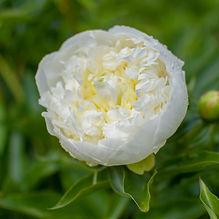 Dutchess.bloom.jpg