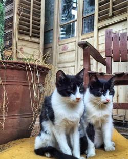 Rizzo Palas'ın İkiz Kedileri