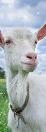 With Goat Milk