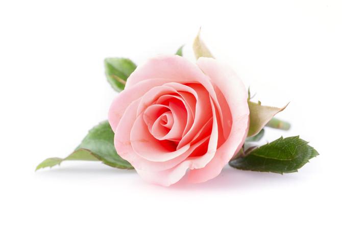 Queen of flowers Rose