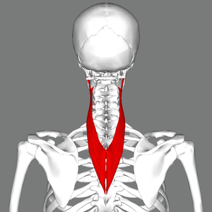 Connecting the upper back to the top of the neck. Working to resist weight of the head.