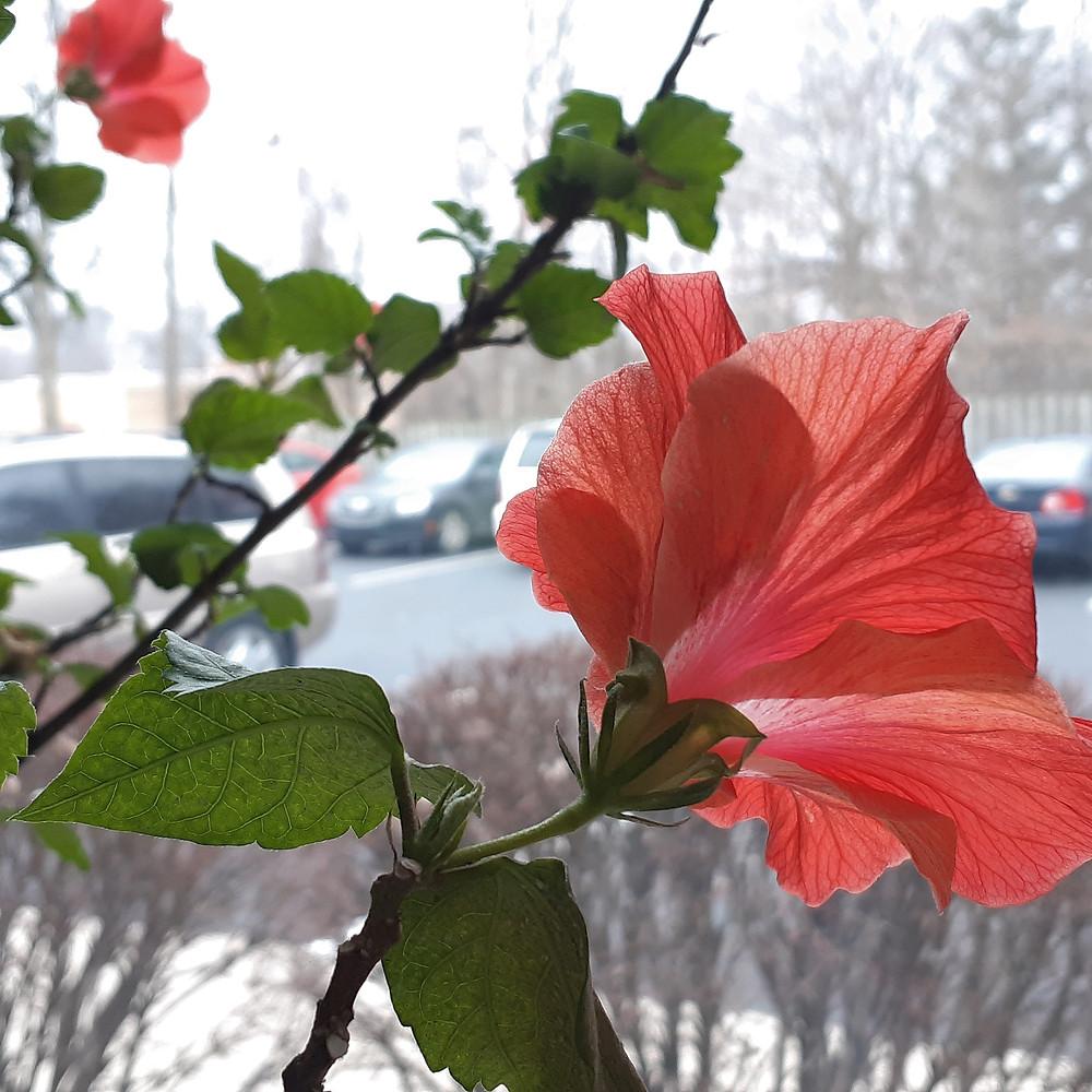 תמונות של מילים. פרח היביסקוס אדום.