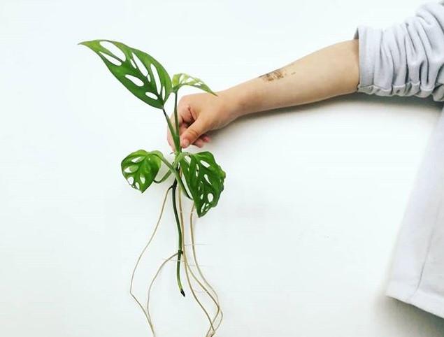 היד של רינת מחזיקה ענף ירוק של מונסטרה