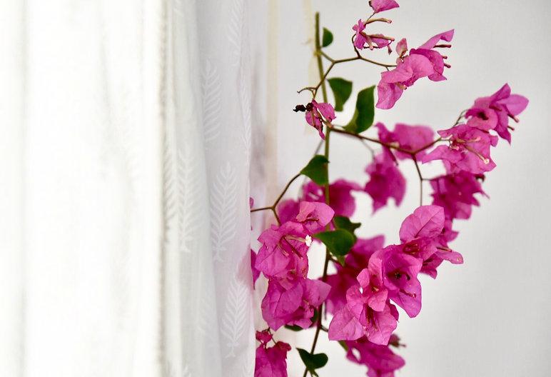 ענף ביגונווליה פורח תלוי לקישוט על הווילון.